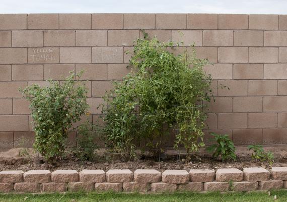 tall tomato garden