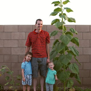 Our Tall Sunflower